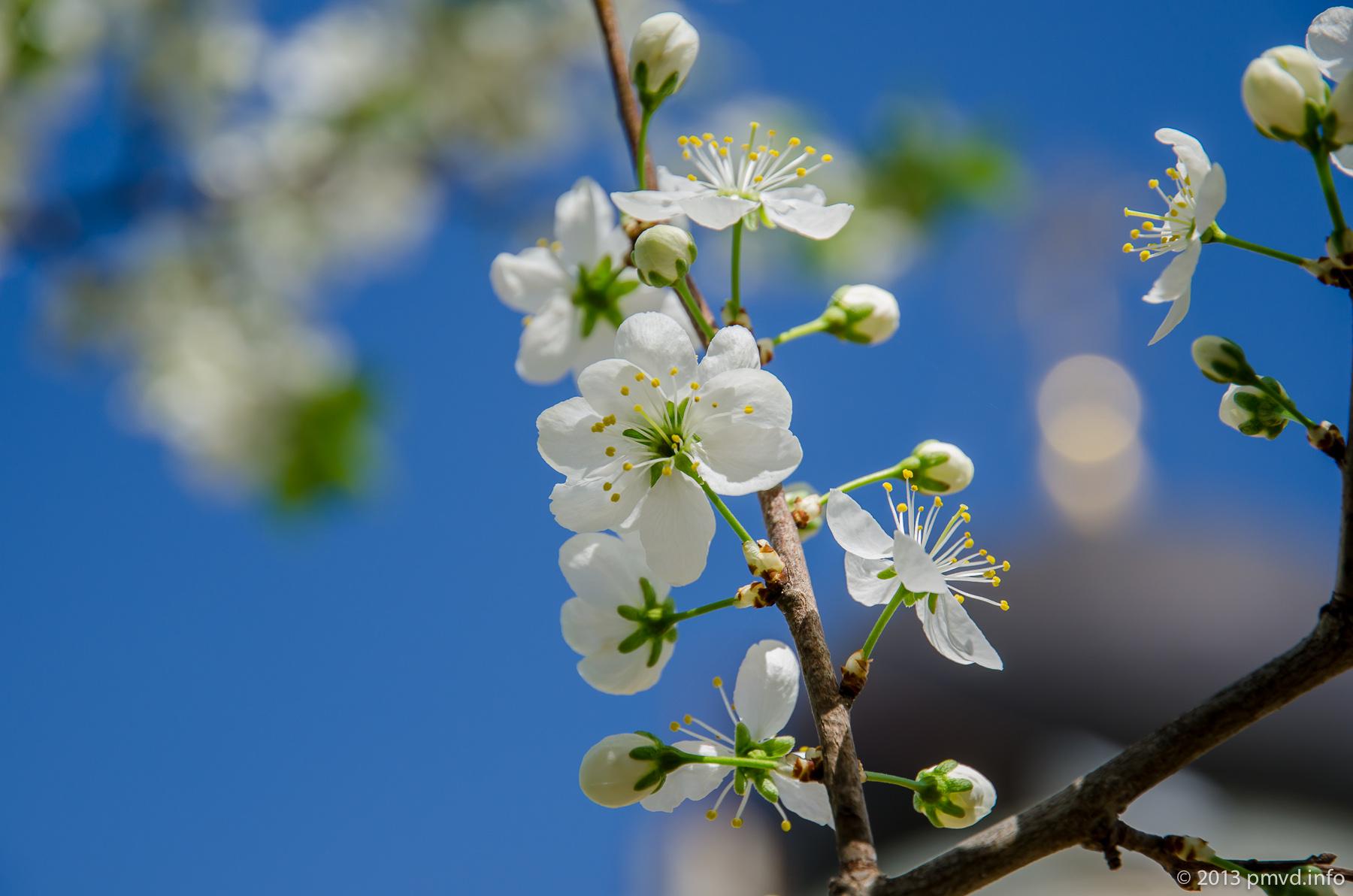 Цветет яблоня. Наро-Фоминск.