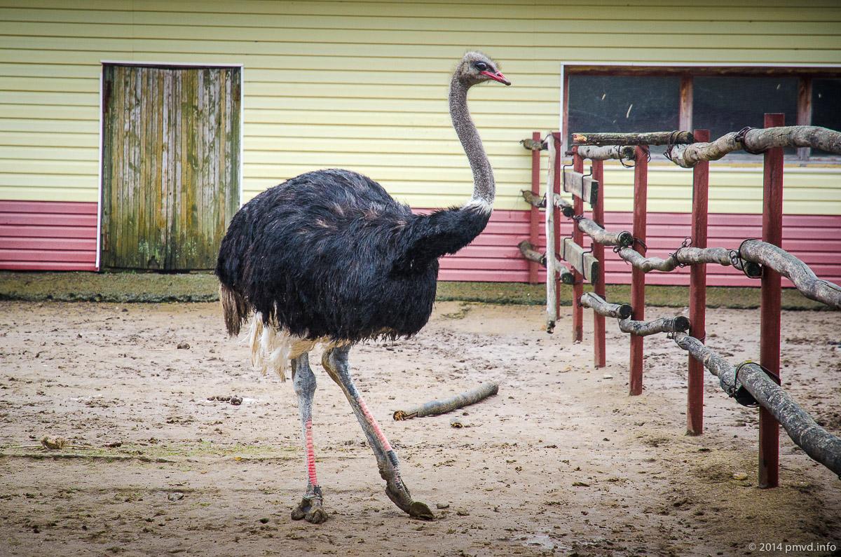 Русский страус. Самец африканского страуса