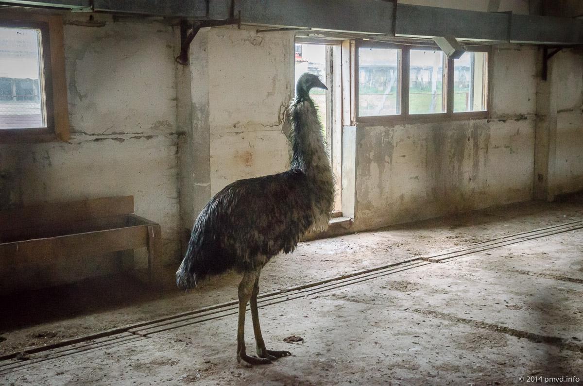 Русский страус. Эму