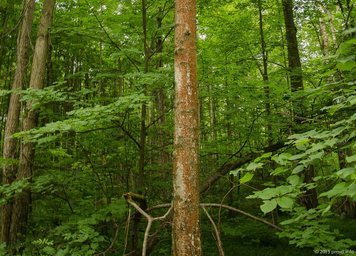 Ржавая кора на деревьях