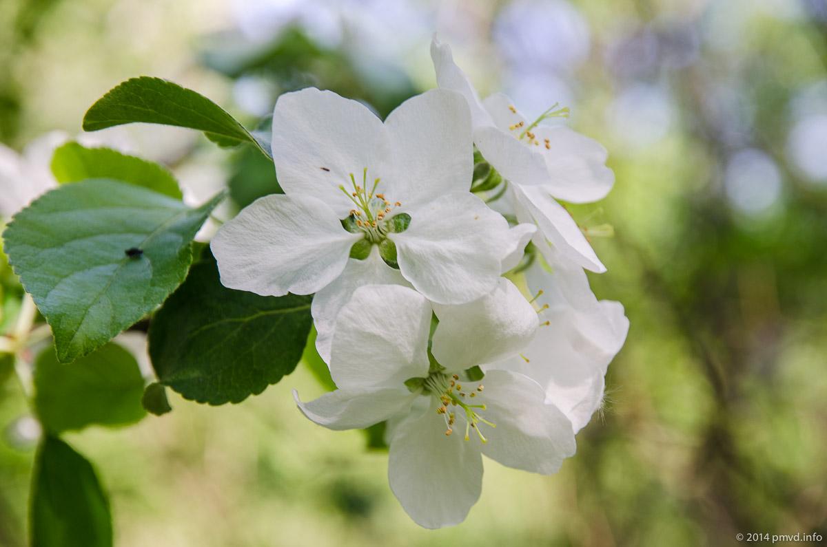 Одинцово. Цветут яблони