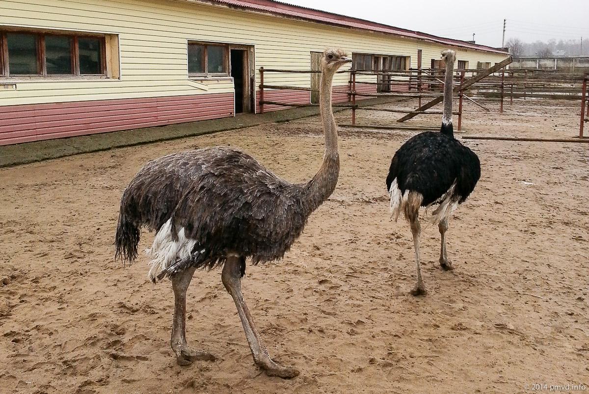 Русский страус. Страусы