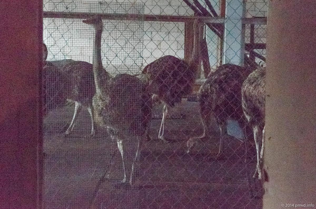 Русский страус. Страусята