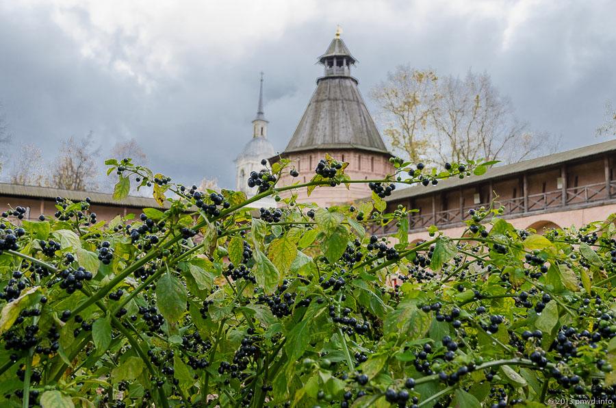 Суздаль. Спасо-Евфимиеский монастырь. Аптекарский огород. Паслен
