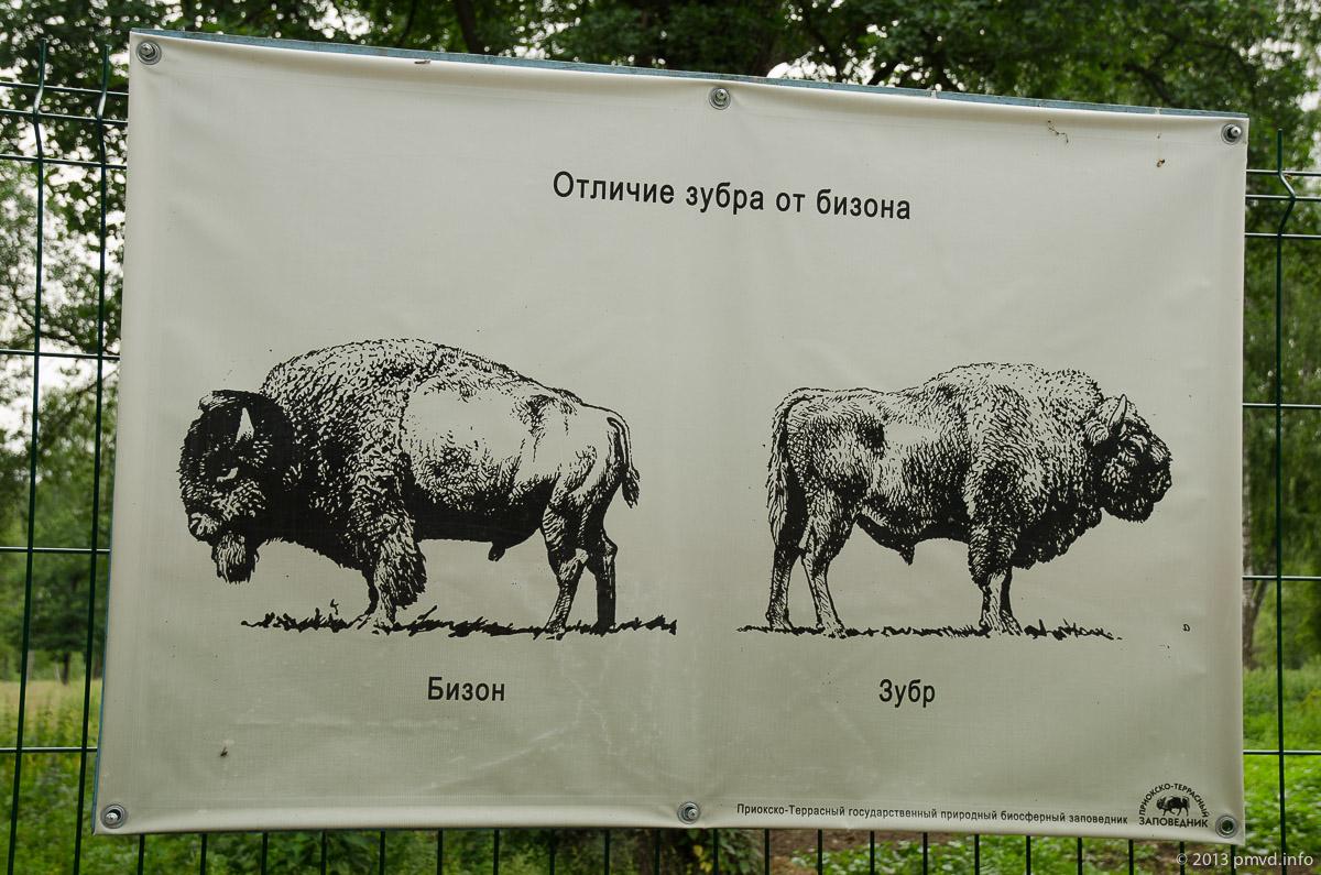 Отличия зубра от бизона